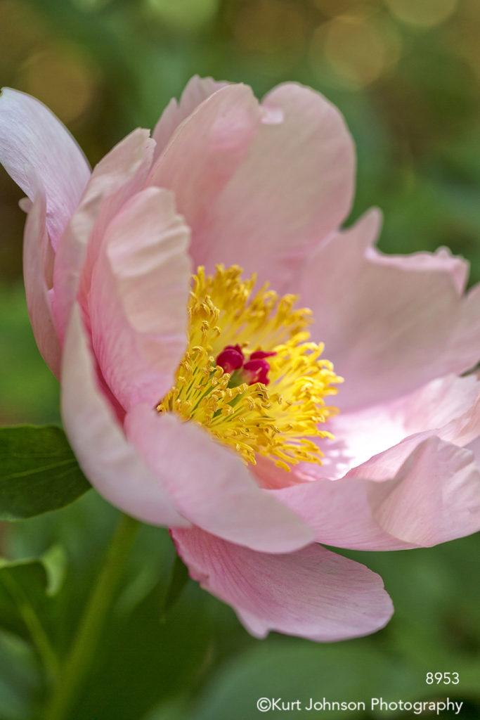 flower pink peonies macro
