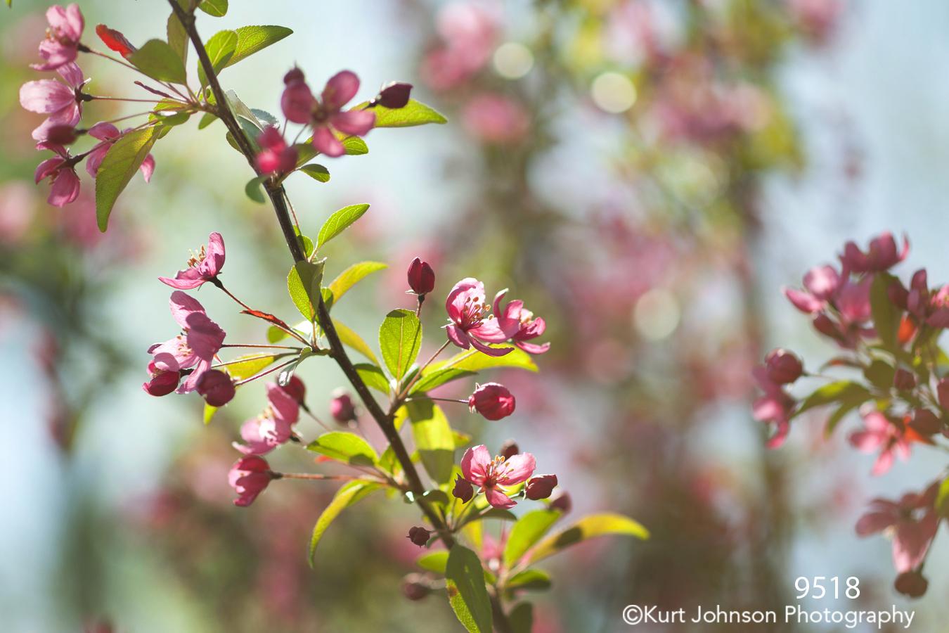 flower pink buds flowering tree green leaves