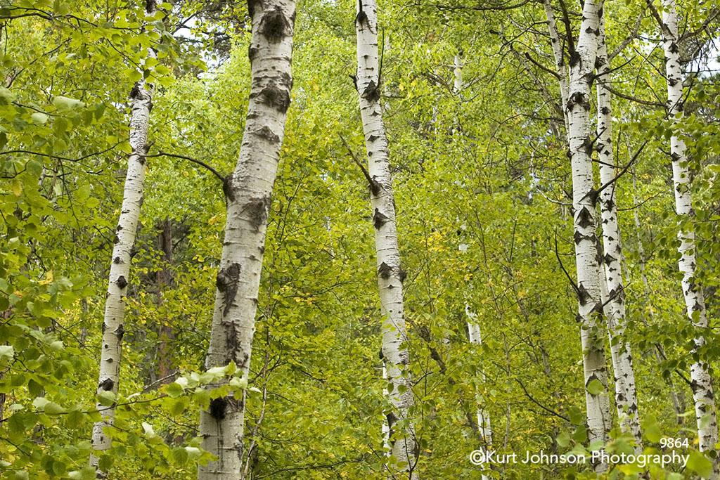 green birch trunks landscape forest leaves