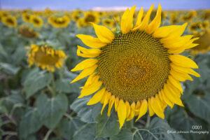 flower yellow sunflower field sunflowers midwest