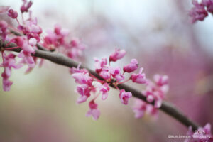 flower purple pink flowering tree branch buds spring