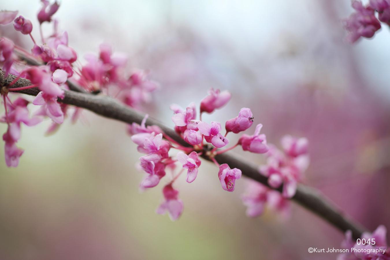 flower purple pink flowering tree branch buds spring