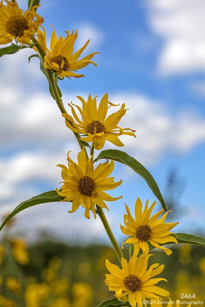 flower flowers yellow stem blue sky