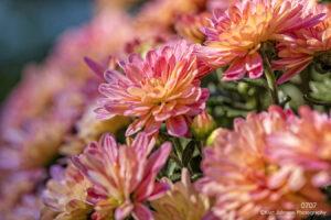 flower pink orange flowers mums