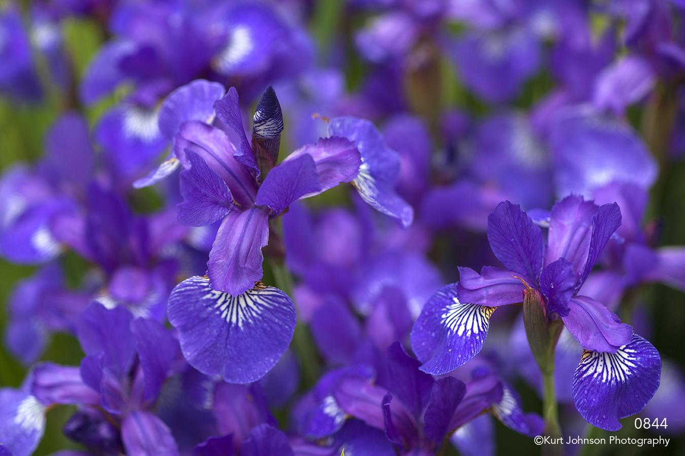 flower flowers purple iris