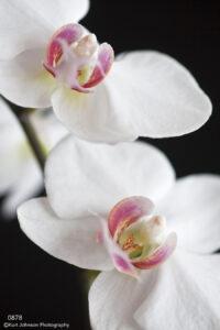 flower flowers white black orchids