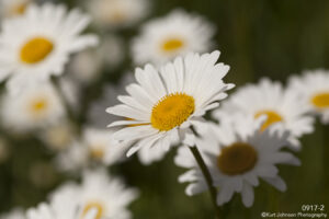 flower flowers daisies white daisy