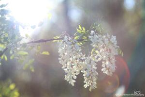 flower flowers white flowering tree branch light