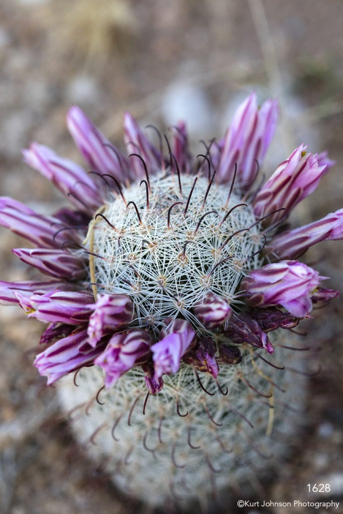 southwest green desert cactus flower pink