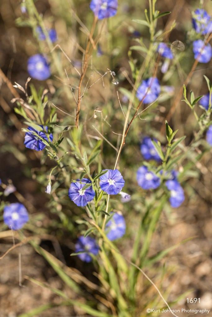 southwest grasses flower blue green desert flowers