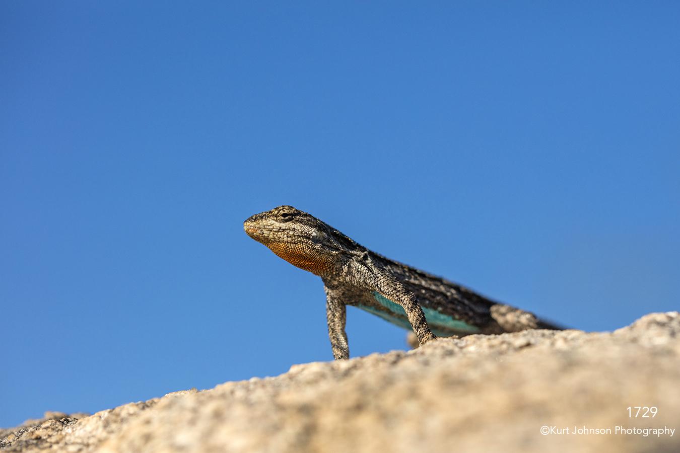 southwest lizard wildlife animal blue