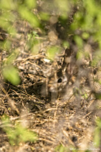 southwest grasses gold wildlife animal rabbit desert