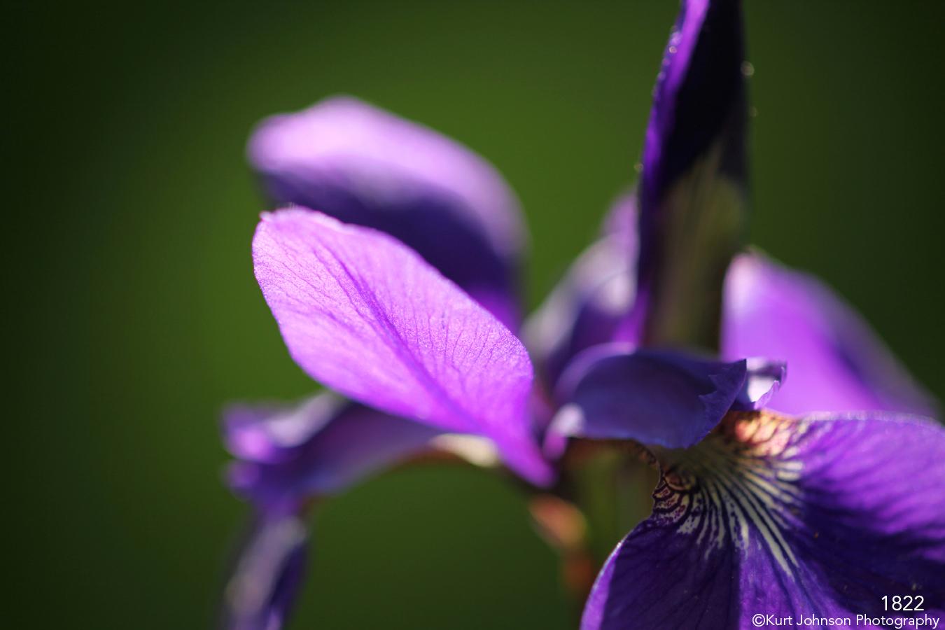 flower purple iris