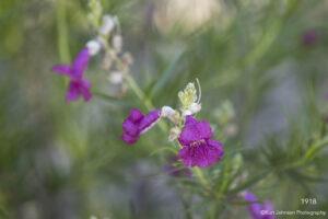 southwest landscape green grasses desert flowers pink