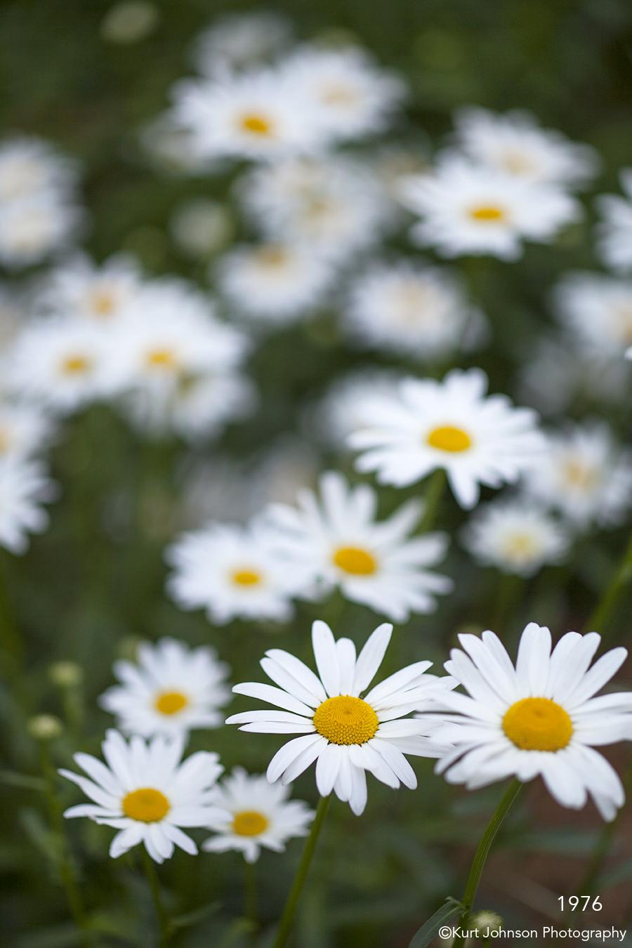 1976 kurt johnson photography flower flowers daisies daisy white izmirmasajfo