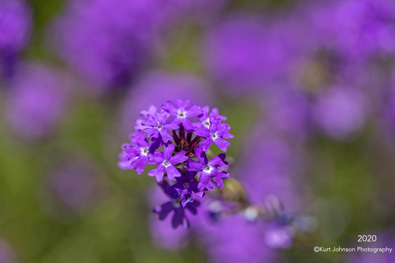southwest flowers purple