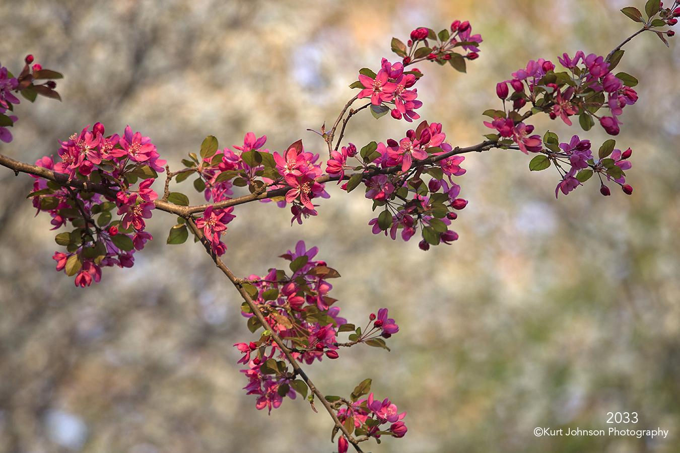 flower buds branch flowering tree pink white flowers