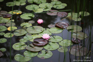 flower lily pads water green pink grasses