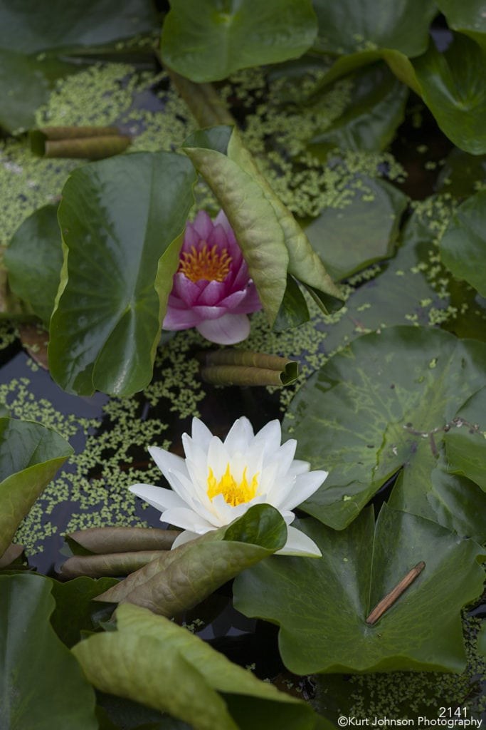 flower white green lily pads leaves water pink