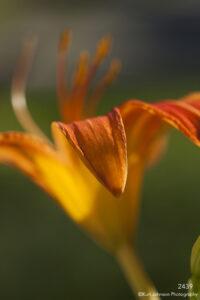 flower orange lily petals
