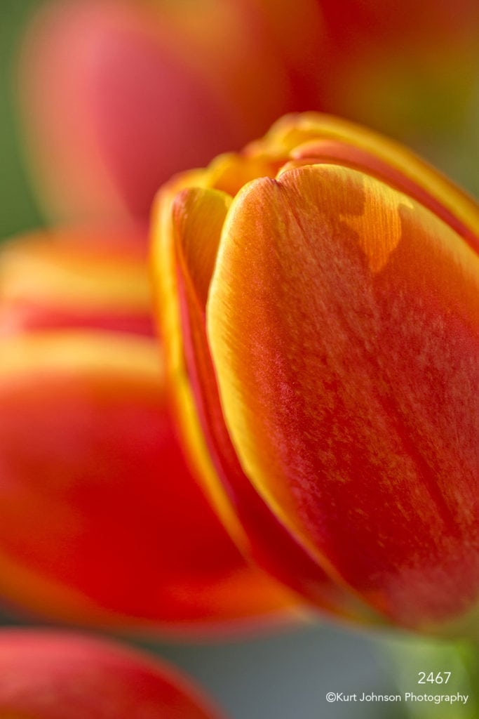 flower tulip orange yellow close up texture