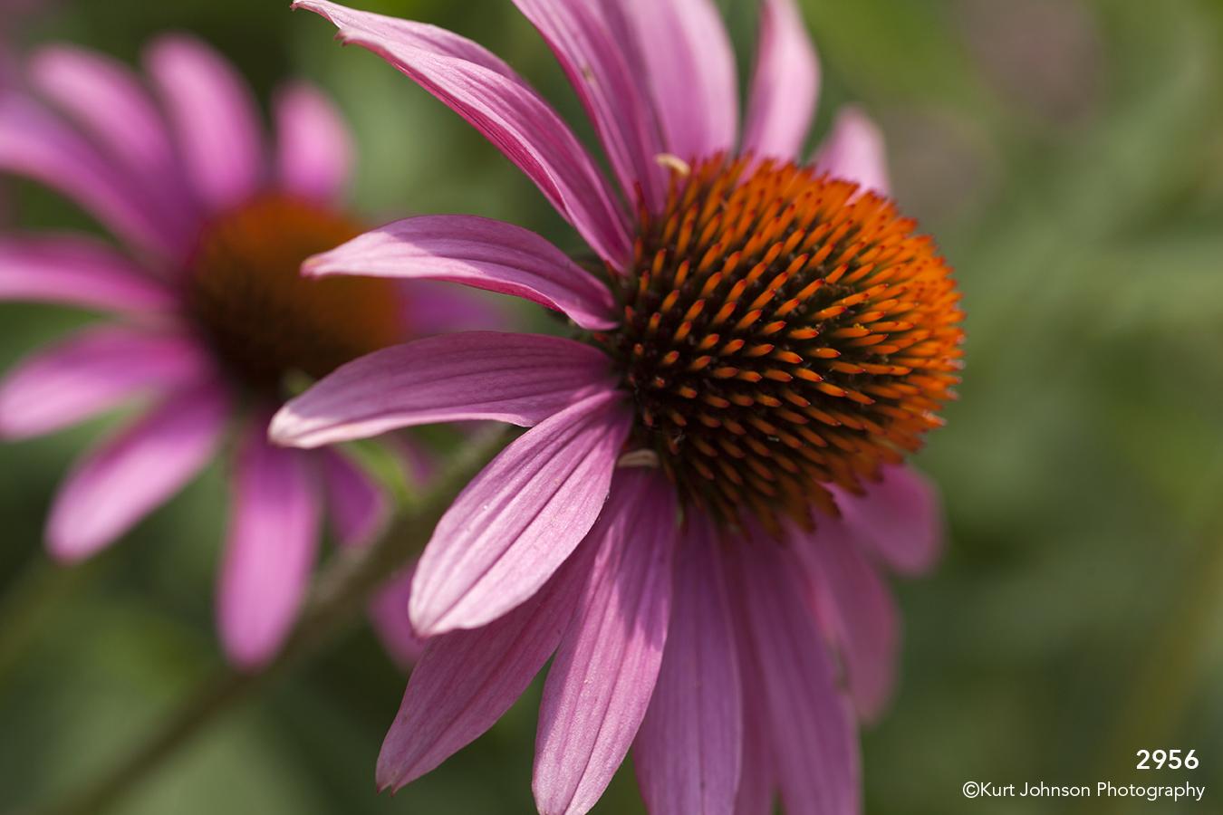 flower flowers daisy purple pink orange