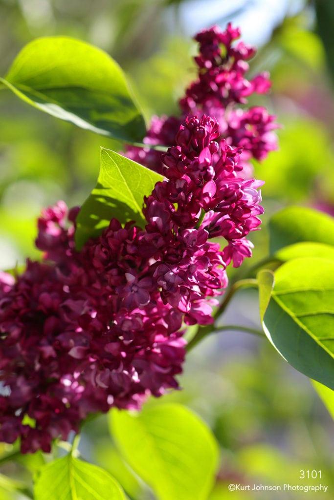 flower pink purple green leaves