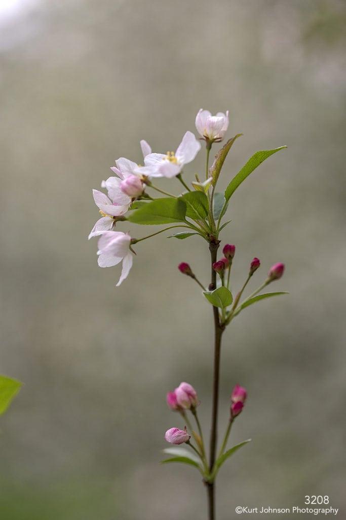 flower branch buds blooming flowering tree white