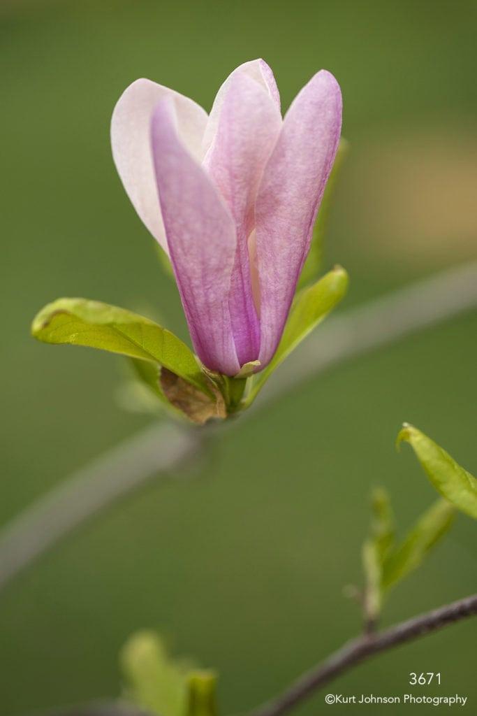 flower pink bud blooming flowering tree