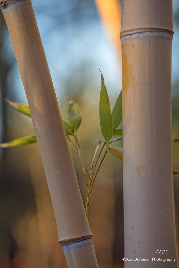 southwest bamboo tree branch yellow leaves