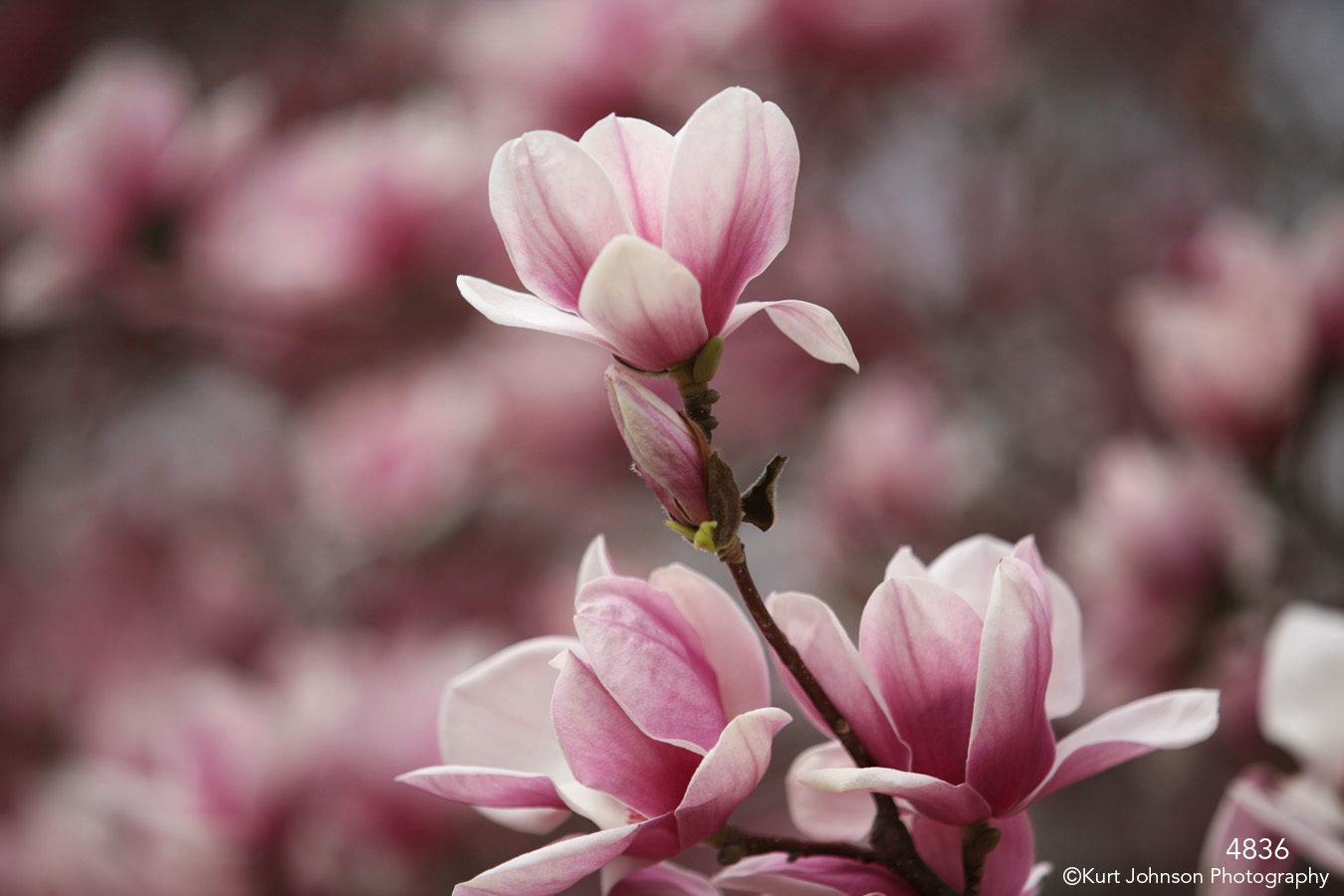 flower pink flowering tree blooming buds