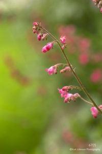 flower bud green pink buds blooming