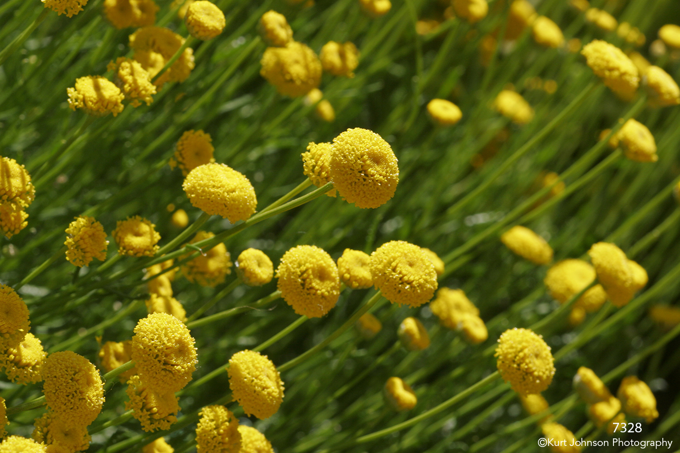 yellow flowers green stems