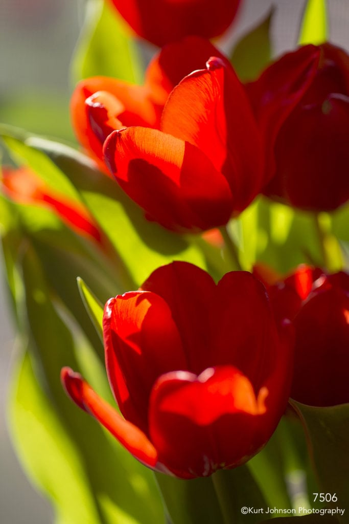 flower red tulips green leaves