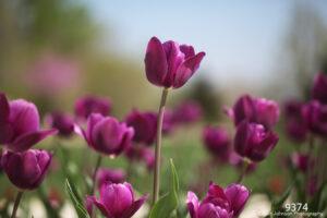 flower flowers purple tulips