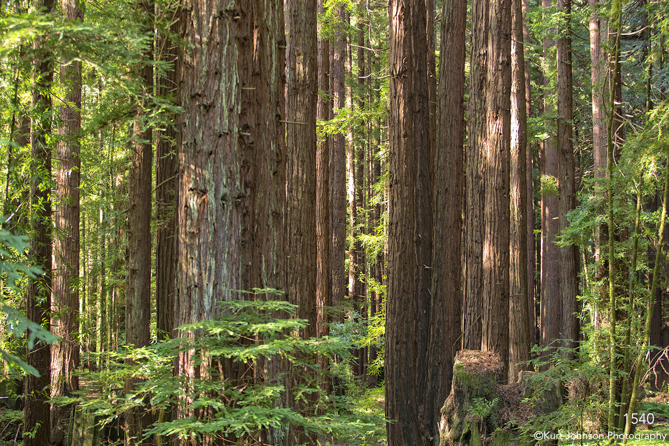 trees green leaves forest redwoods