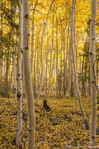 trees birch woods forest fall autumn yellow