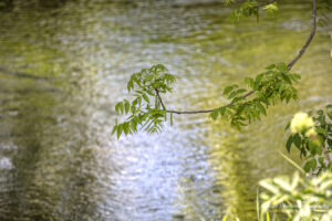 trees water green leaves branch ripples
