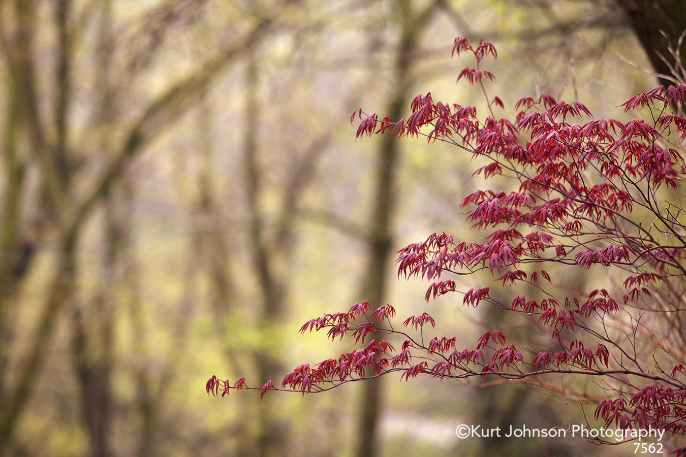 trees red japanese maple leaves forest
