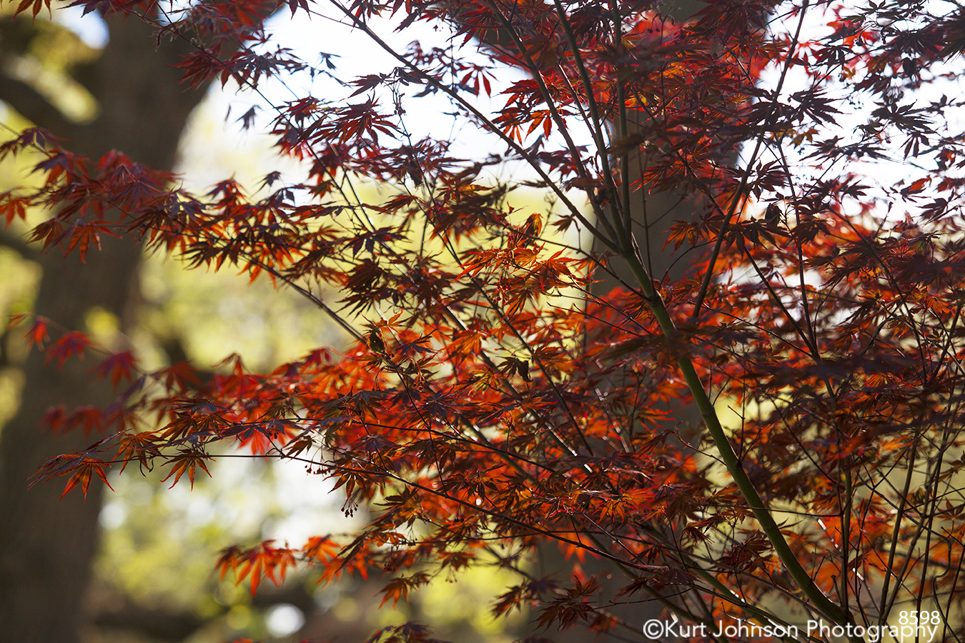 trees leaves red japanese maple
