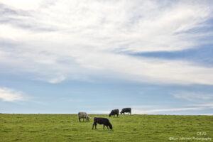 animals landscape cows wildlife