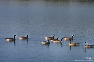 animals landscape water geese wildlife