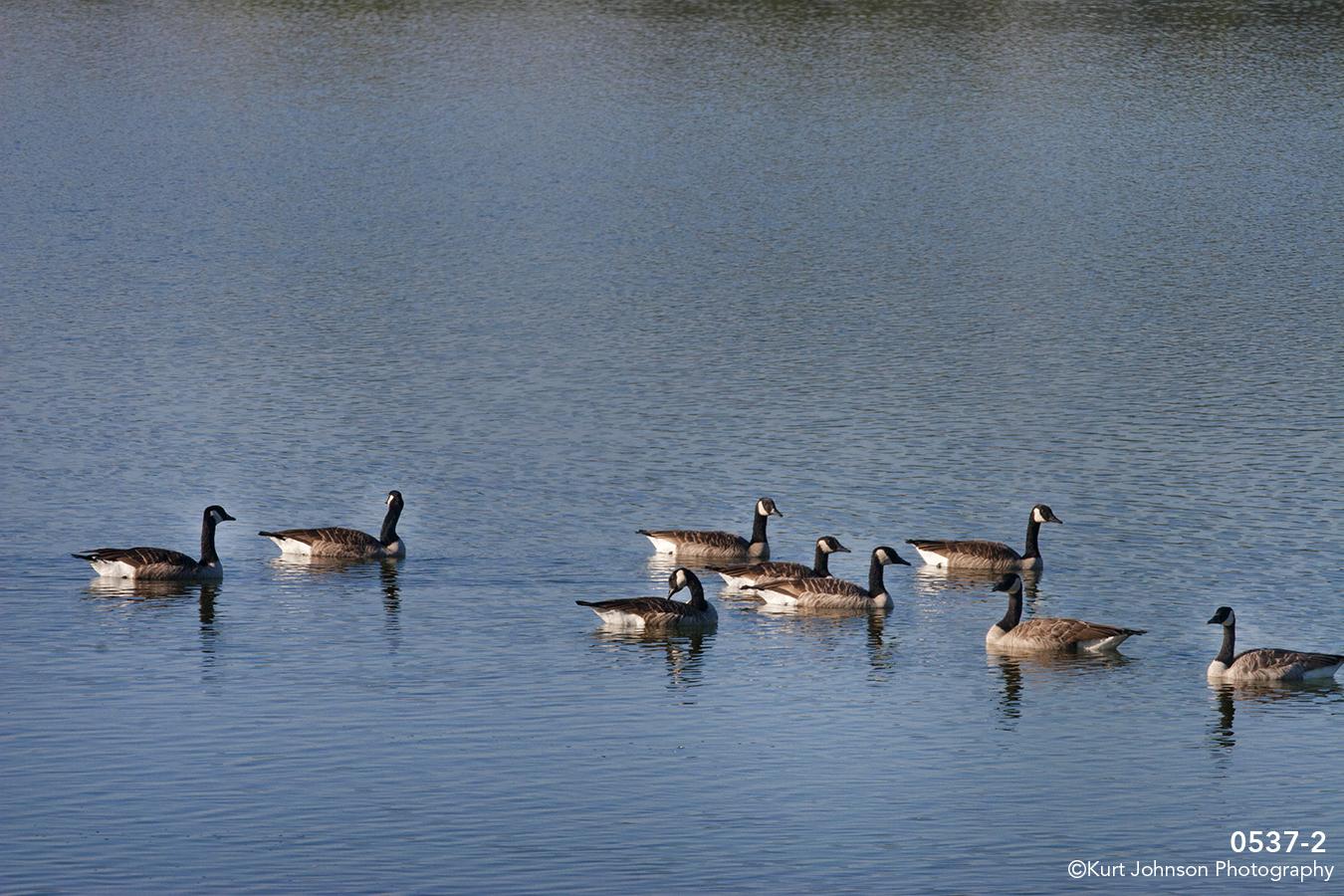 animals landscape water geese wildlife