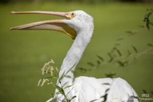 animals wildlife bird pelican green white