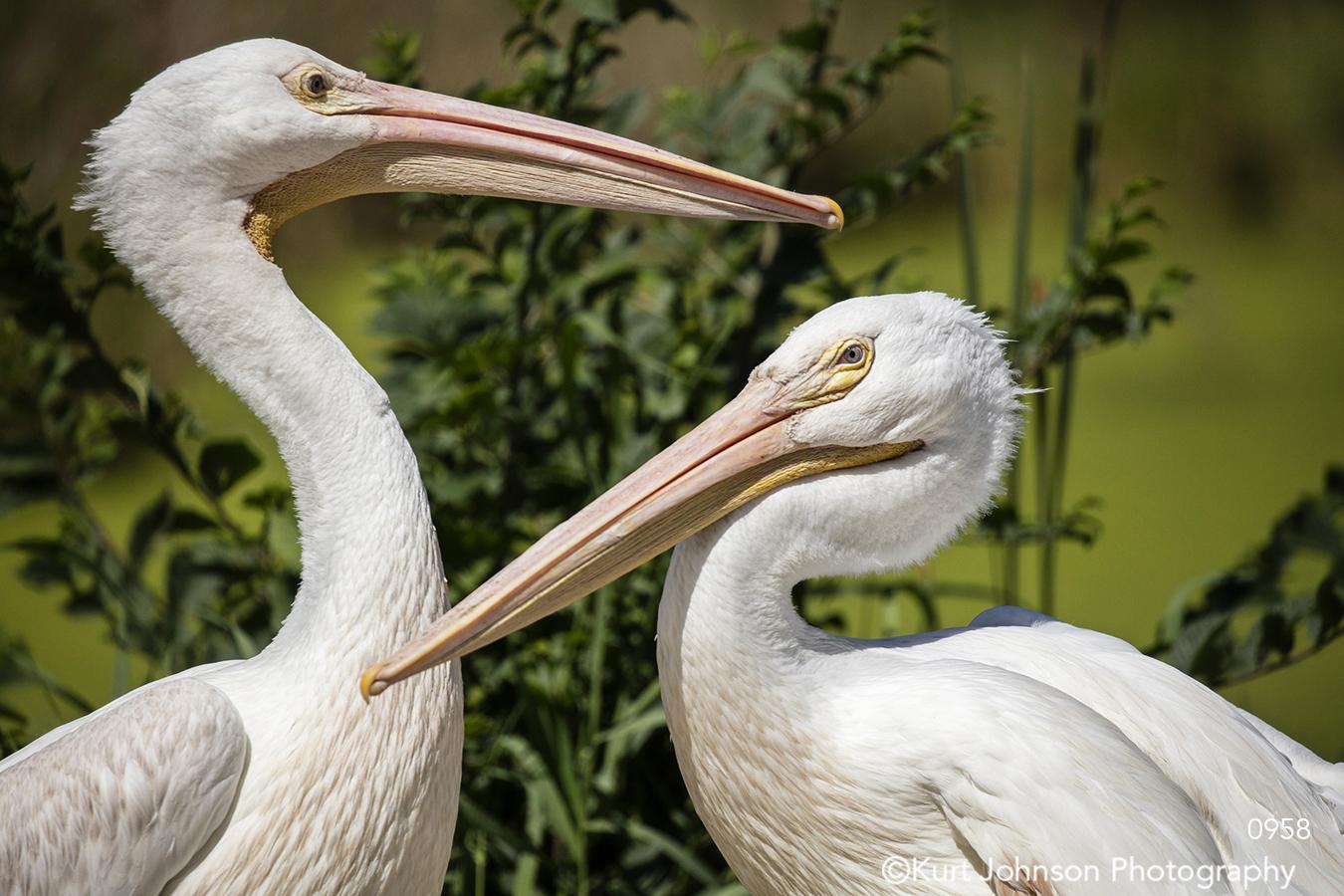 animals wildlife birds pelicans green white