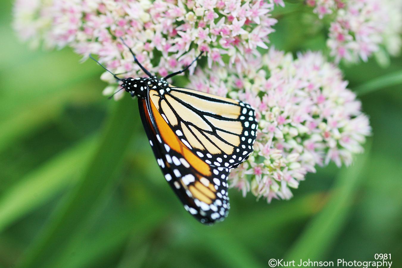 animals butterfly flower wildlife