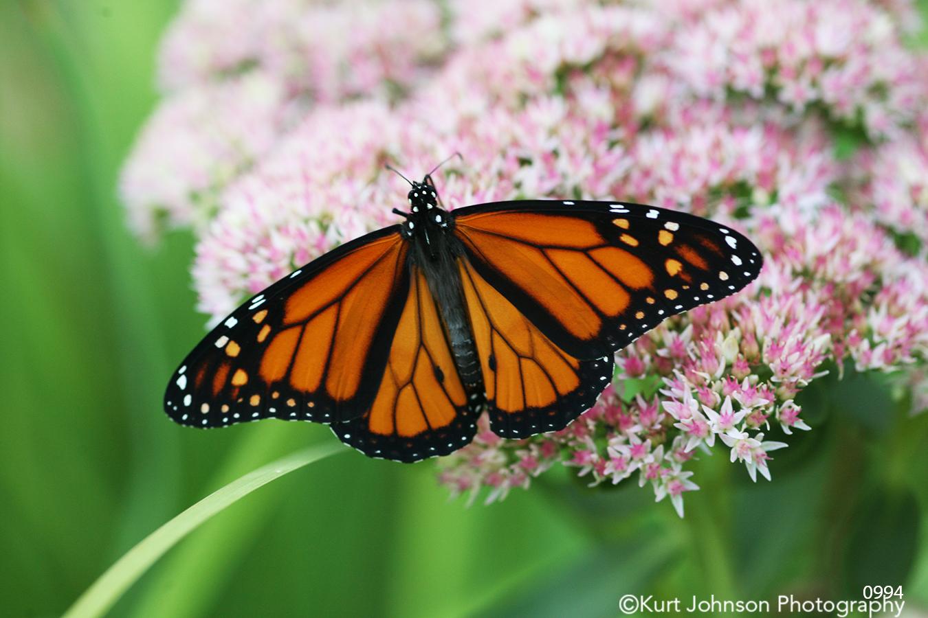 animals orange butterfly flower wildlife