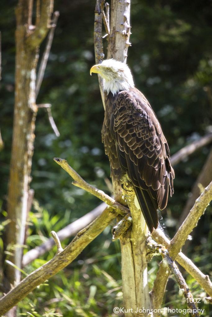 animals wildlife bird eagle