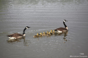 animals wildlife water geese babies