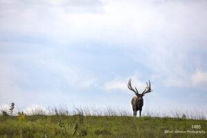 landscape animal wildlife elk